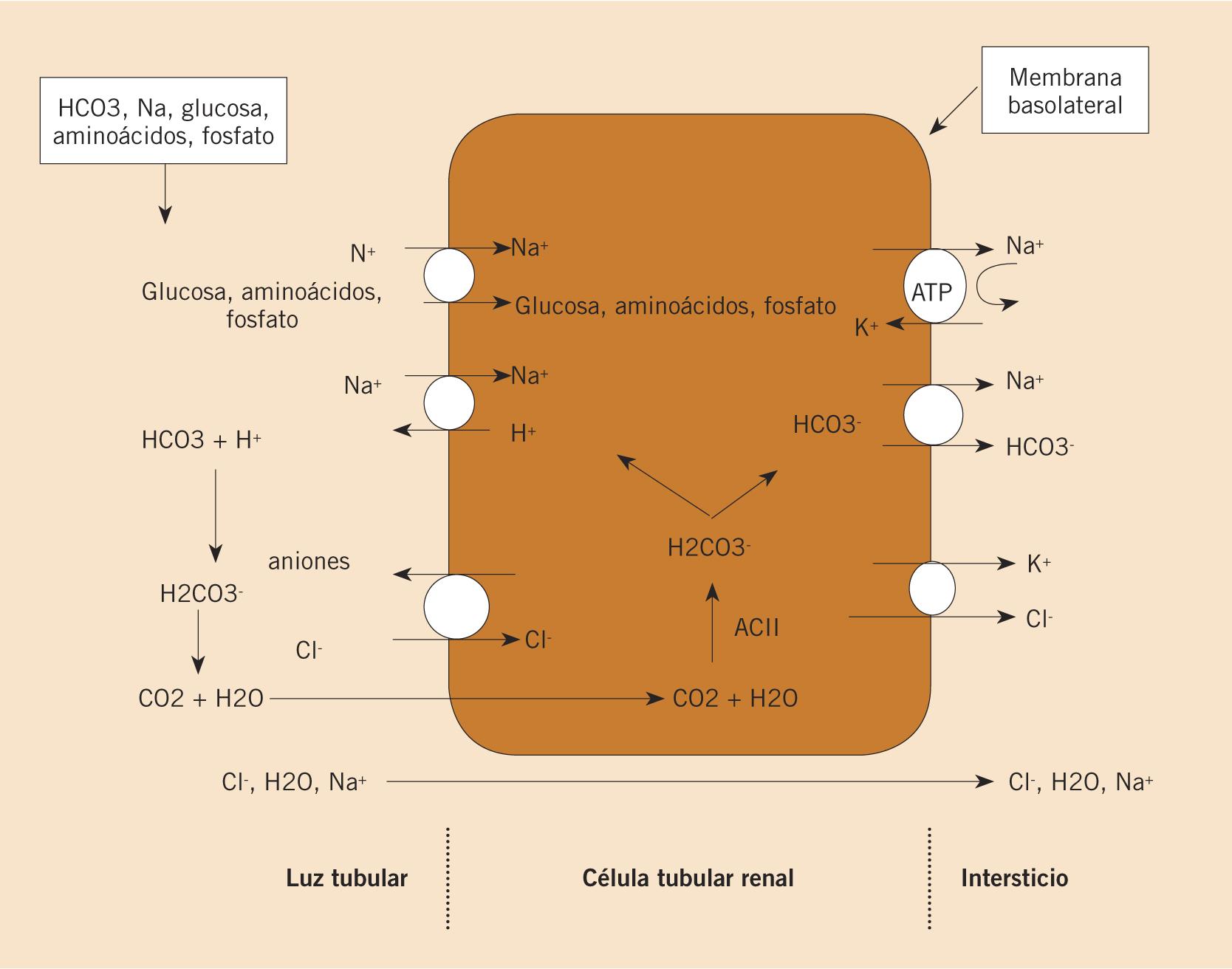 Morfología y función renal
