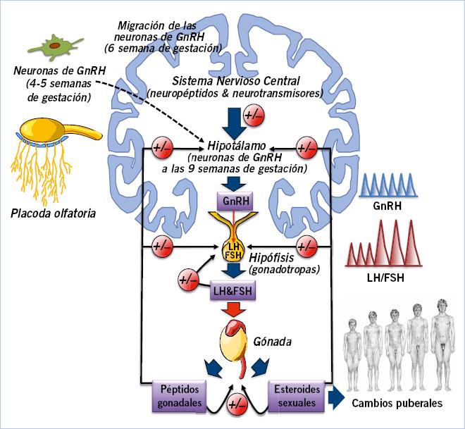 sintesis de esteroides ovaricos