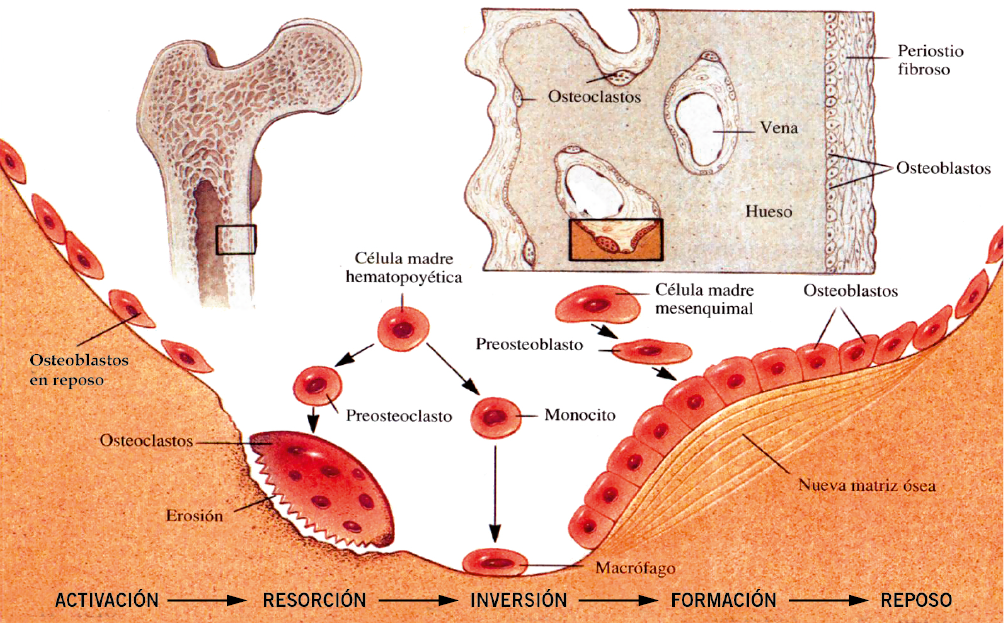 Valoración e interpretación de la masa ósea en la infancia y ...